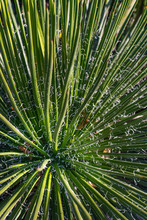 View Of An Agave Geminiflora