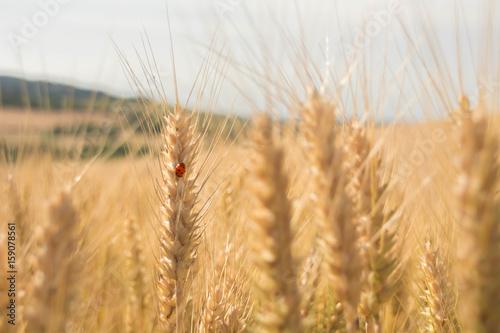 Fotografie, Obraz  coccinella su grano
