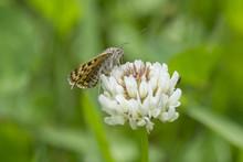Mother Shipton Moth (callistege Mi) Feeding On A Clover Flower , Seaton Country Park,  Cornwall, Uk