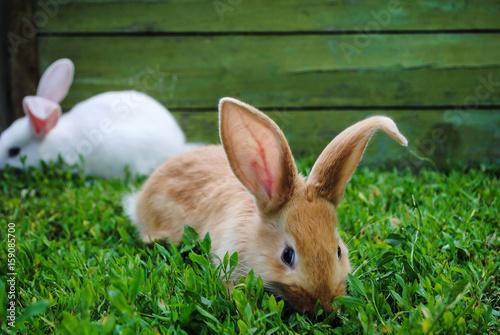 Fotodibond 3D Owłosiony mały królik na trawie