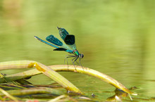 Dragonfly Sitting On A Water S...