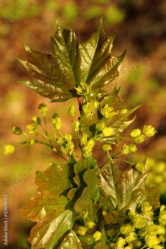 feldahorn,Acer campestre