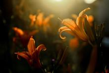 Fire Lily - Flower Garden