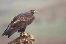 Golden Eagle,
