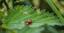 Ladybirds Mating On A Leaf
