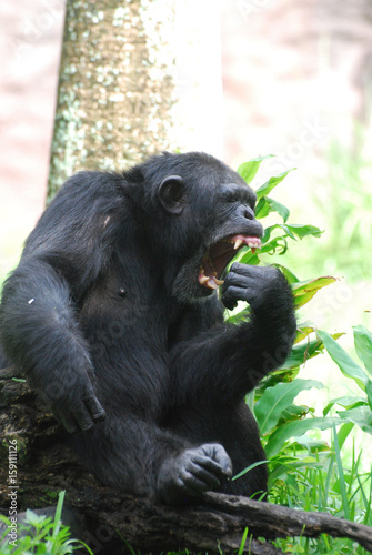 Fotografie, Obraz  Chimp with Big Teeth Open in His Mouth