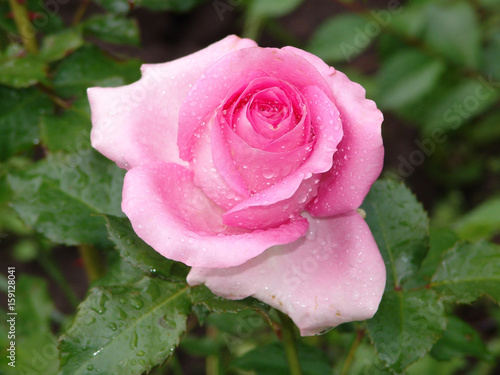 Flower Rose Blossom Nature Beautiful Green Floral Beauty Bloom Garden Background Love Plant Summer Valentine Petal Natural Fresh Day Red Romance Color White Gift Flora Isolat Wall Mural Elena