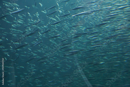 Fotografie, Obraz  Blur of school of anchovies swimming in synchronized formation Newport, Oregon