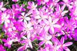 canvas print picture - Wiese mit zarten Blumen im Frühling