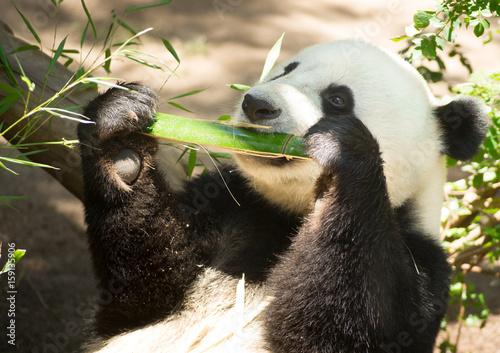 Zdjęcie XXL Zagrożone Zwierzę Wildlife Giant Panda Eating Bamboo Badyl