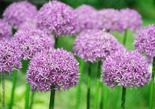 purple allium lucy ball flower blooming in spring Wallpaper Mural