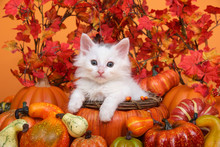 Small White Kitten Laying In An Orange Pumpkin Shaped Basket Surrounded By Gourds Pumpkins And Squash With Fall Leaves And Orange Background. Fun Fall Harvest Theme.
