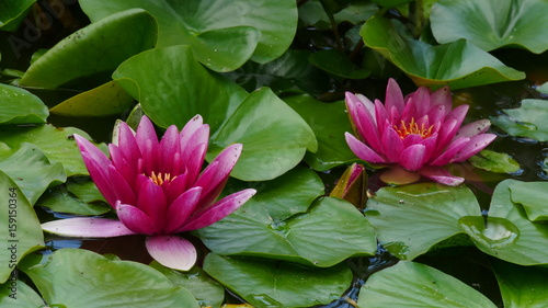 Tuinposter Waterlelies Seerosen rosa