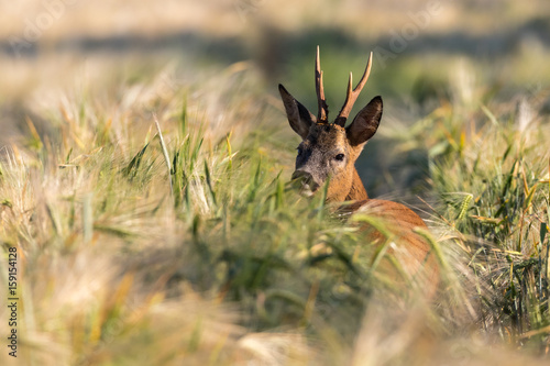 Rehbock im Getreidefeld