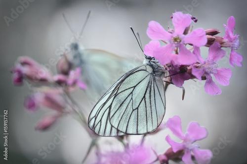 Photo White butterflies - Aporia crataegi, the black-veined white