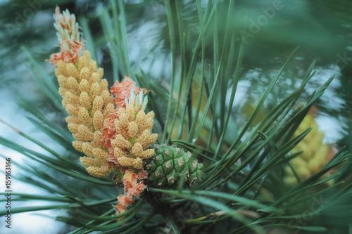 Obraz na plátne  Scots pine (Pinus sylvestris) - Ripe pollen cones - perfect macro details