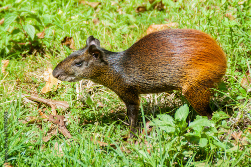 Agouti at Ile Royale, one of the islands of Iles du Salut (Islands of Salvation) Wallpaper Mural