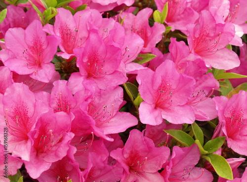 Staande foto Roze アザレアの花