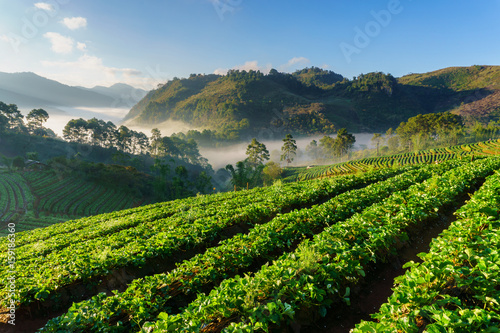 Papiers peints Vignoble Misty morning sunrise in strawberry garden, View of Morning Mist at doi angkhang Mountain, Chiang Mai, Thailand