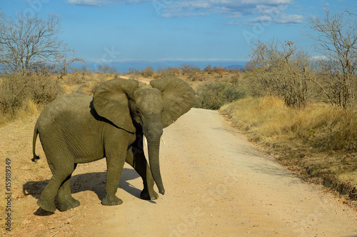 Why did the elephant cross the road? (Loxodonta africana) Canvas Print