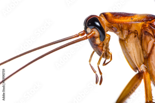 The close up photo of cockroach head isolated on white background.