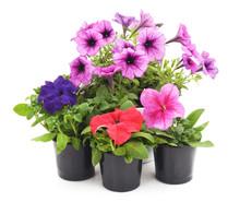 Colorful Petunia.