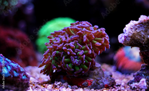 Staande foto Koraalriffen Euphyllia frogspawn hammer coral