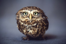Portrait Of A Wild Owl On The Background