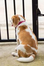 Very Cute Beagle Dog Smiling P...