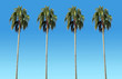 high palm trees with blue sky as background