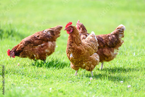 Tuinposter Kip Free and happy hens