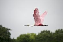 Roseate Spoonbill Bird Flying