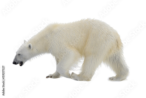 Staande foto Ijsbeer Polar bear isolated on white backgownd