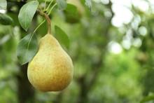 Pear On Tree In Fruit Garden