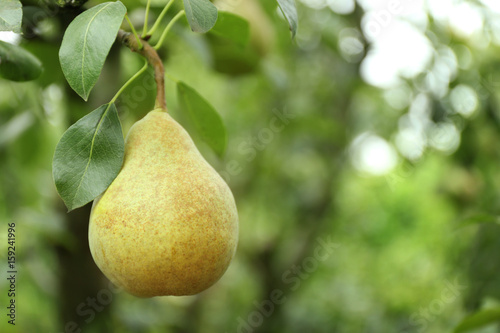 Pear on tree in fruit garden