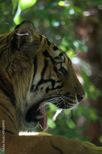 Obrazy na płótnie Canvas Tiger yawn