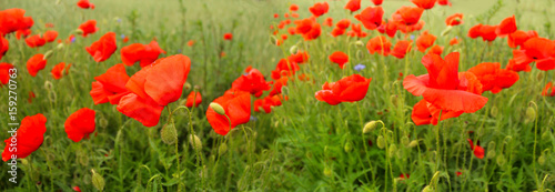 Poster Poppy Flowering red poppies in the green wheat field.