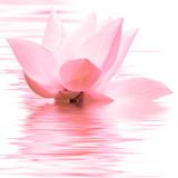 lotus rose - 159280999