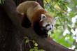 Red panda 12