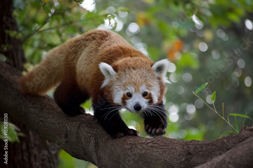 Red panda 11 Canvas Print