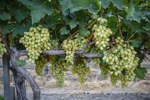 Grape At A Vineyard In San Joaquin Valley, California, USA.