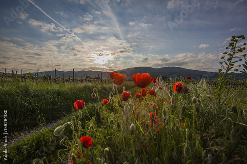 red poppies field and sunset landscape