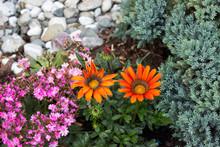 Two Gazanias On The Garden