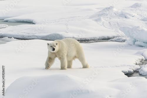 Recess Fitting Polar bear Auf der Suche nach den Eisbären