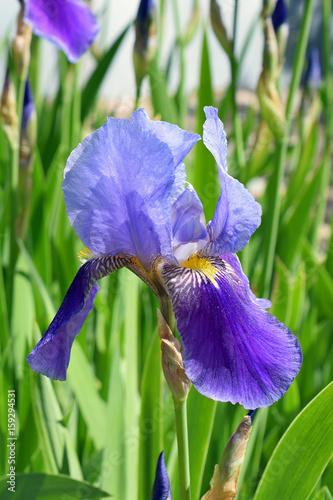 Spoed Foto op Canvas Iris Iris germanica, Kharput, beautiful flower, vertical image