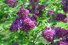 Syringa Vulgaris Flowers