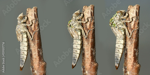 Metamorphosis of  River Clubtail dragonfly