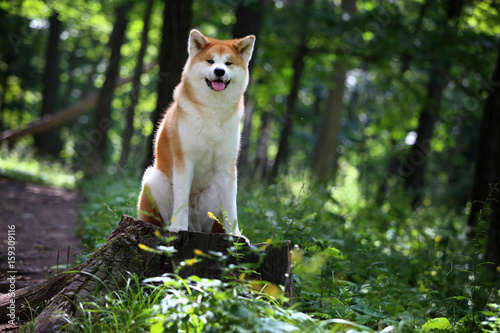 Photo Akita-inu dog. Portrait. Summer forest.
