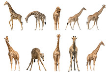 Set Of Ten Giraffe Portraits, Isolated On White Background