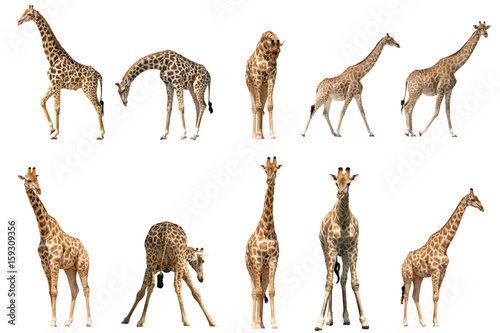 Photo  Set of ten giraffe portraits, isolated on white background